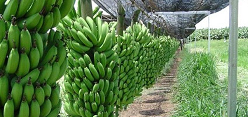 Transport de régimes de banane par cableway
